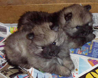 Keeshond Puppies on Markwright Keeshond  Puppies